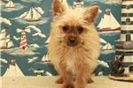 Picture of Male Chorkie