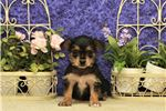Picture of Female Chorkie #4