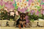 Picture of Female Micro? Chorkie? #6