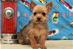 Picture of Male? Chorkie #1