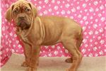 Picture of French Mastiff