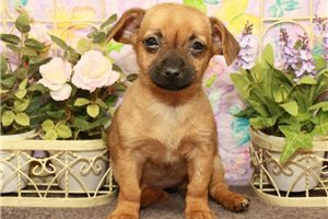 Chiweenie  | Puppy at 12 weeks of age for sale