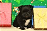 Picture of Morkie Female