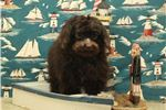 Bernedoodle for sale