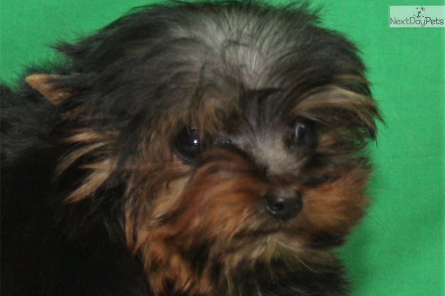 Akc Female Yorkie #2: Yorkshire Terrier - Yorkie puppy for