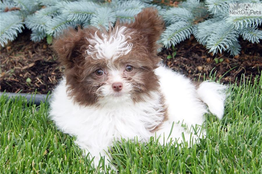 Poma-Poo - Pomapoo puppy for sale near Akron / Canton ...