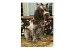 Picture of Wirehaired Pointing Griffon Pup, female