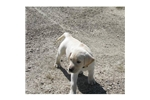 Picture of a Labrador Retriever Puppy