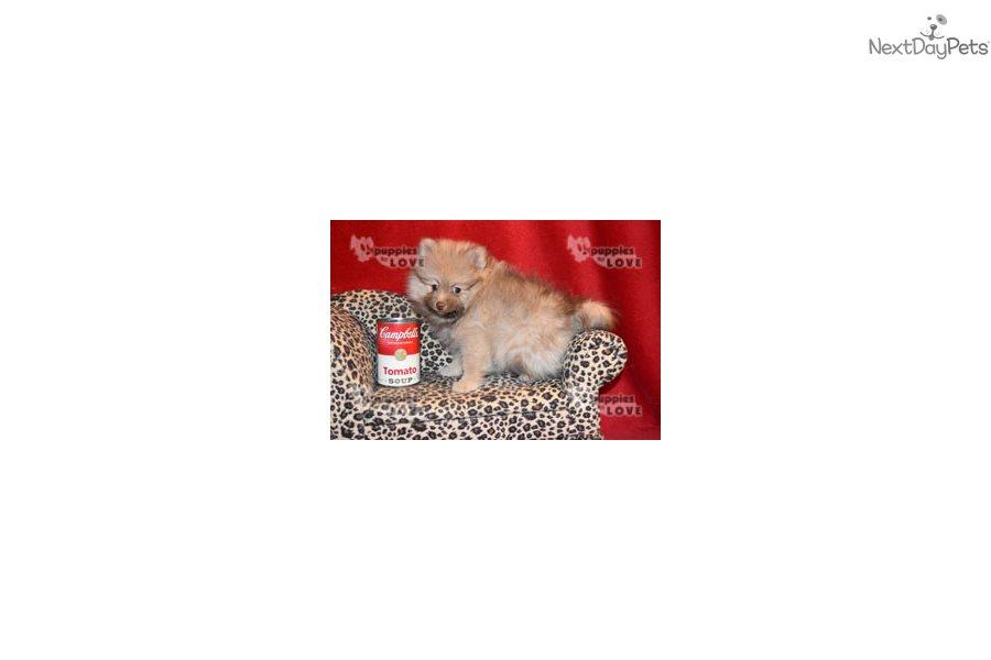 Jon: Pomeranian puppy for sale near Dallas / Fort Worth