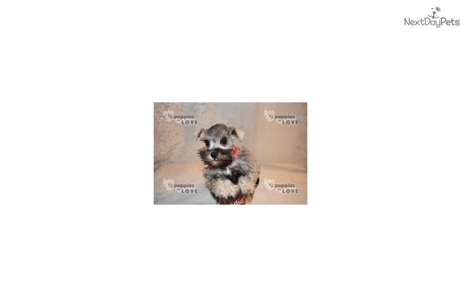 Lilly: Schnauzer, Miniature puppy for sale near Dallas