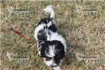 Picture of AKC TOY CHANEL