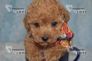Picture of AKC Red Dustin