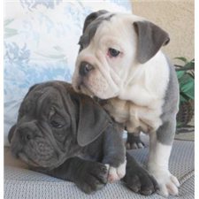 View full profile for Buckeye Az  Bulldogges