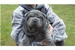 Picture of AKC Chinese Shar-Pei Puppies