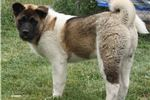 AKC Akita Puppy 5 Cindy | Puppy at 27 weeks of age for sale