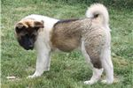 Picture of AKC Akita Female Cindy