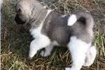 Picture of AKC Akita Female-Crystal