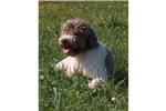 Featured Breeder of Lagotto Romagnolos with Puppies For Sale