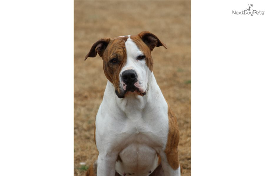 American Bully Dogs For Sale In Oklahoma