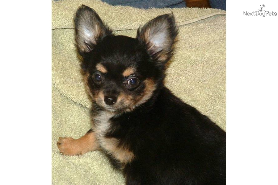 chihuahua for sale in va chihuahua for sale for 950 near southwest va virginia 4545