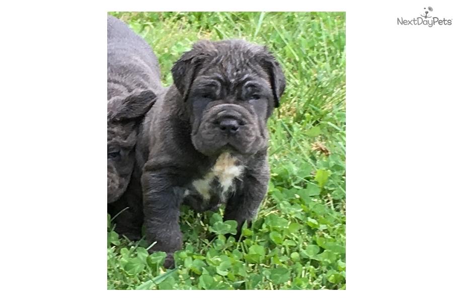 Blue: Neapolitan Mastiff puppy for sale near Nashville