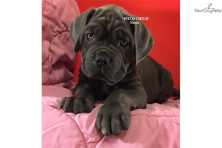Boss: Neapolitan Mastiff puppy for sale near Nashville