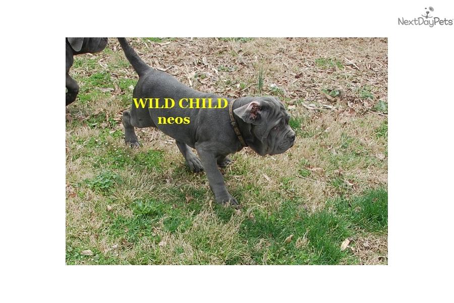 Rosinka Neapolitan Mastiff Puppy For Sale Near Nashville Tennessee