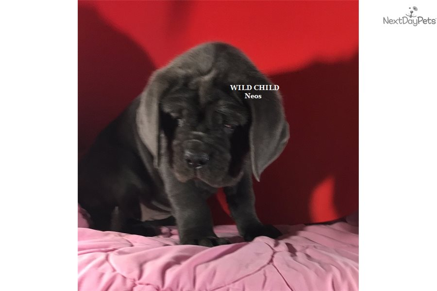 Barbara: Neapolitan Mastiff puppy for sale near Nashville