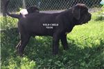 Picture of AKC Breeder of Merit - male 10 months old