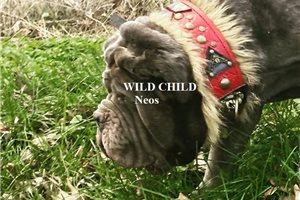 Neapolitan Mastiffs for sale