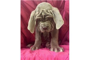 Tawny male | Puppy at 1 week of age for sale