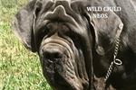 Picture of AKC Breeder of Merit - impressive 3yrs old male