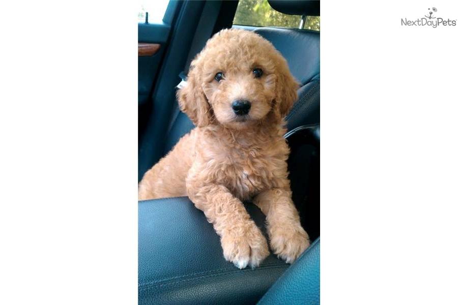 Goldendoodle For Sale For 850 Near Ocala Florida