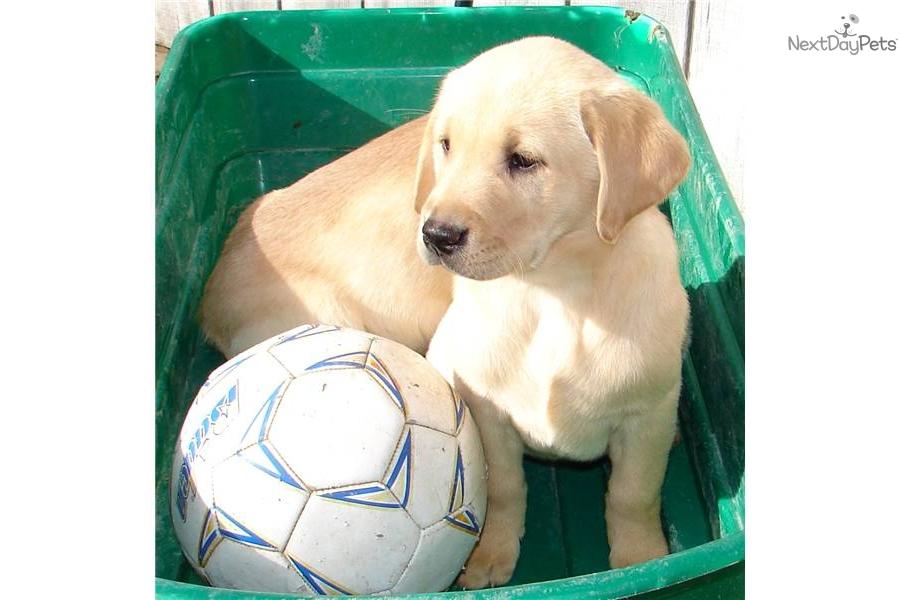 Meet Sadie A Cute Labrador Retriever Puppy For Sale For