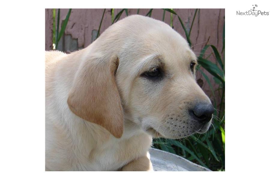 Labrador Retriever Puppy For Sale Near Salt Lake City
