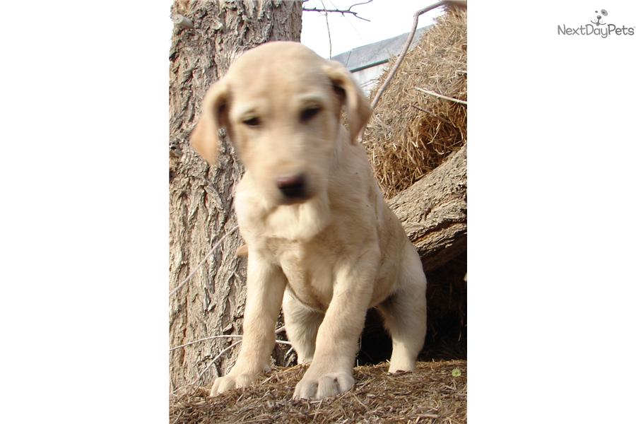 Quot Hank Quot Kid Tested Mother Approved Labrador Retriever
