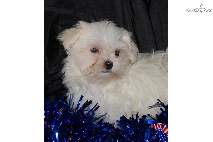 Meet Lainie a cute Maltese puppy for sale for $450. Lainie ...