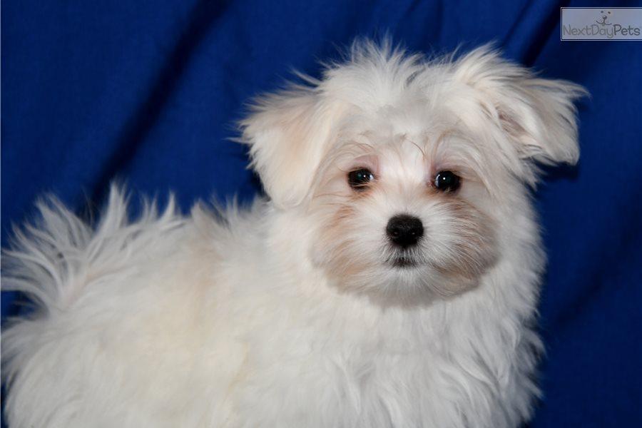 Jasper: Maltese puppy for sale near Sioux Falls / SE SD ...