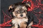 Picture of Max - Tiny Male Morkie