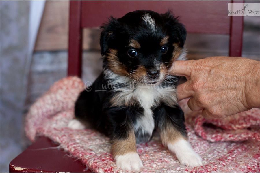 Taser Miniature Australian Shepherd Puppy For Sale Near