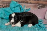 Picture of _Brown Eyes~Toy/Small Mini Black Tri Female~BaSalt