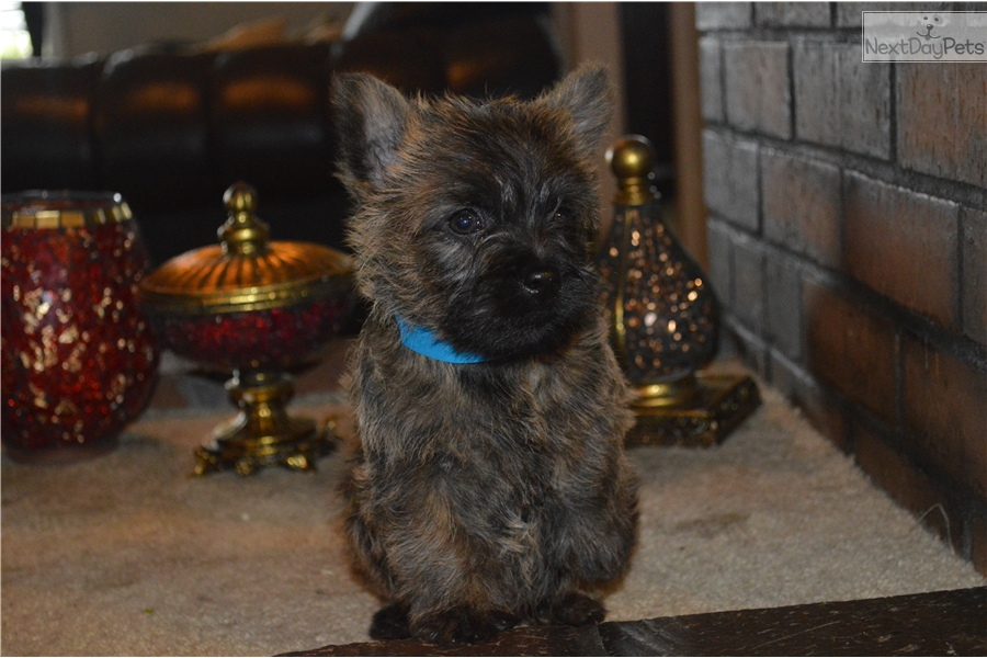 Blue Collar : Cairn Terrier puppy for sale near Salem, Oregon