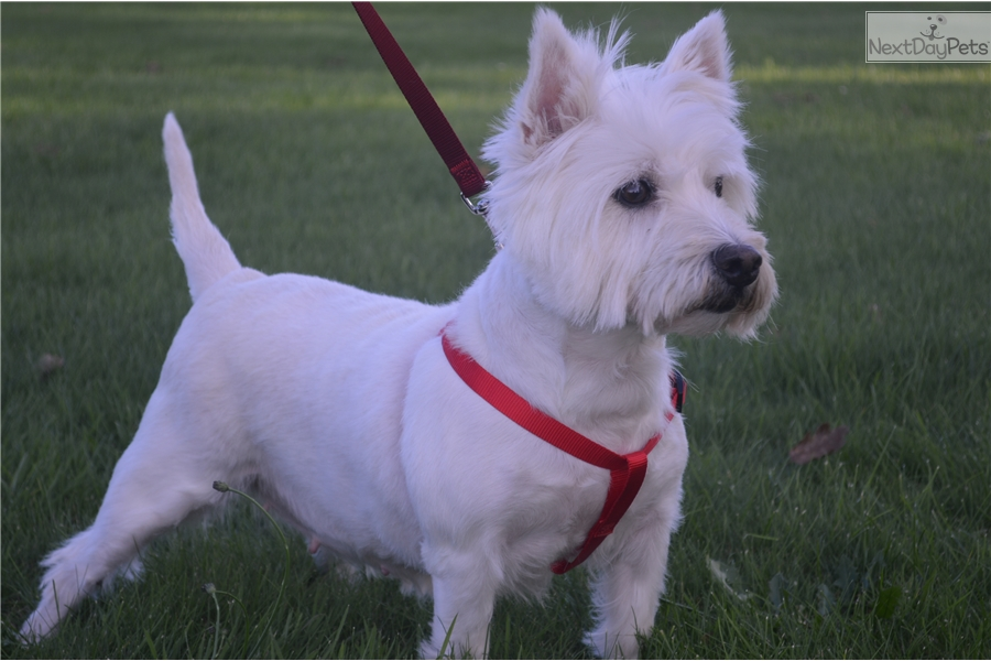 Kimber West Highland White Terrier Westie Puppy For Sale