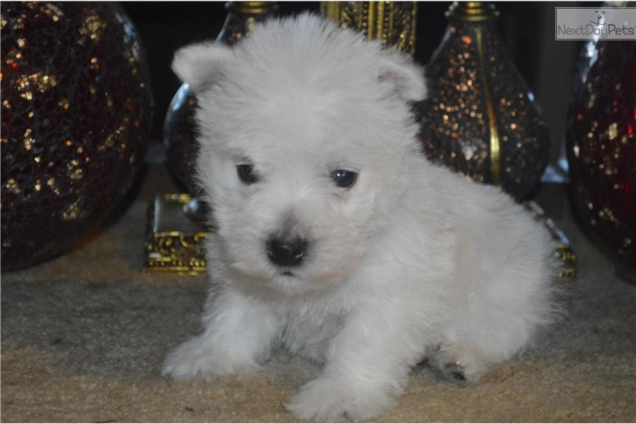 Blue Collar: West Highland White Terrier - Westie puppy for sale in Oregon USA