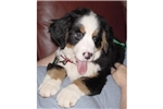 Featured Breeder of Bernese Mountain Dogs with Puppies For Sale