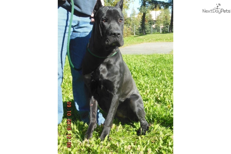 Hades Cane Corso Mastiff Puppy For Adoption Near Los Angeles