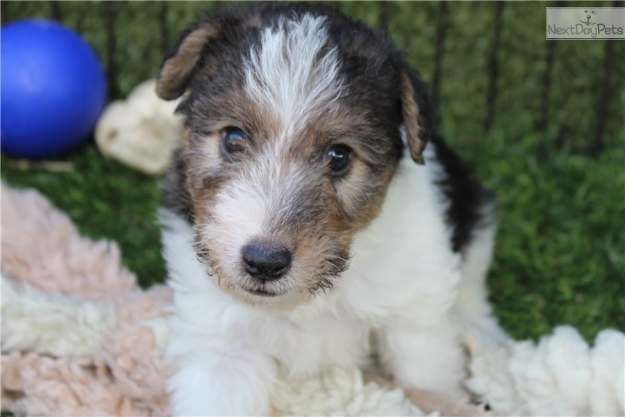 Fox Terrier Wire Puppy For Sale Near Los Angeles California 2db8ab86 D081