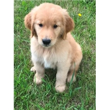 View full profile for Acorn Goldens
