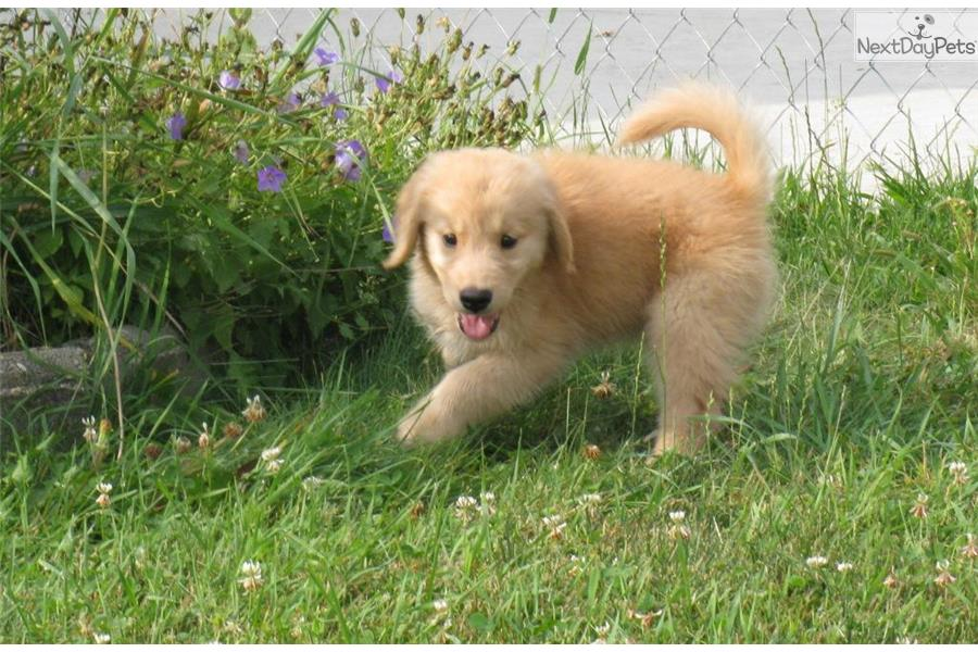 Golden Retriever puppy for sale near St Cloud, Minnesota ...