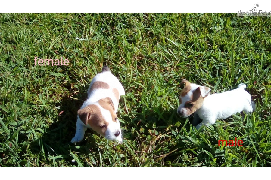 Natural Bobtails Jack Russell Terrier Puppy For Sale Near